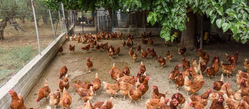 Δημιουργία νέας μονάδας παραγωγής αυγών ελευθέρας βοσκής